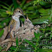 Allens Hummingbird Feeds Young Art Print