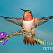 Allens Hummingbird Male Art Print
