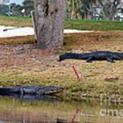 Alligator Hazard Art Print