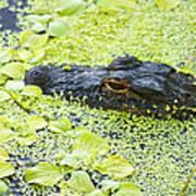 Alligator In Duckweed Looking At Me Art Print