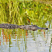 Alligator Reflection Art Print by Al Powell Photography USA