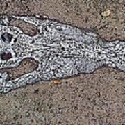 Alligator Skull Fossil 1 Art Print