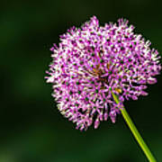 Allium Flower Art Print