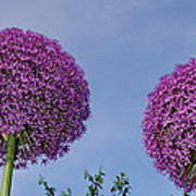 Allium Flowers Art Print