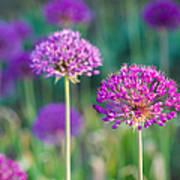 Allium Flowers - Featured 3 Art Print