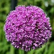 Allium Globe Art Print