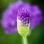 Allium Hollandicum Purple Sensation Art Print