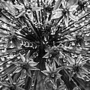Allium Jewels Art Print
