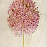 Allium Pink Jewel Art Print