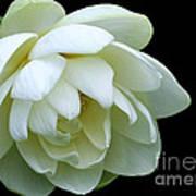Alluring Lotus Art Print