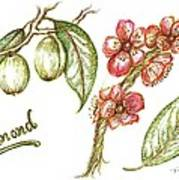 Almond With Flowers Art Print by Teresa White