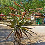 Aloe Plant In Kruger National Park-south Africa Art Print