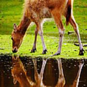 Along The Water Grazing Pere David's Deer Art Print