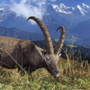 Alpin Ibex Male Grazing Art Print by Konrad Wothe