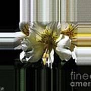 Alstroemeria Named Marilene Staprilene Art Print