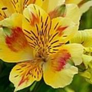 Alstroemerias Flower 1 Art Print