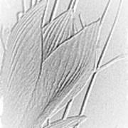Amaryllis-8 Art Print
