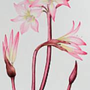 Amaryllis Belladonna Art Print