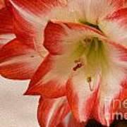 Amaryllis In Spring Art Print