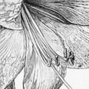 Amaryllis Art Print