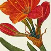 Amaryllis Purpurea Art Print
