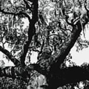 Amazing Oak Tree Art Print