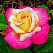 Amazing Red Yellow Rose Art Print