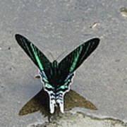 Amazon Butterfly 3 Art Print