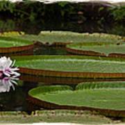 Amazon Lily Pad Art Print