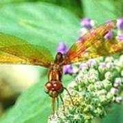 Amber-wing Dragonfly 2 Art Print