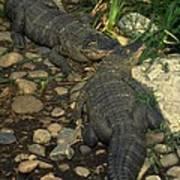 American Alligators Art Print