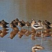 American Avocet And Sleeping Dowitchers Art Print