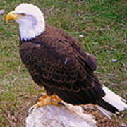 American Bald Eagle 1 Art Print