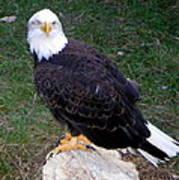 American Bald Eagle 2 Art Print