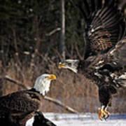 American Bald Eagles Art Print