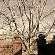 American Beech Tree - Dumbarton Oaks Art Print