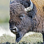 American Bison Closeup Art Print