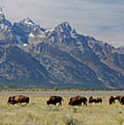 American Bison Herd Art Print