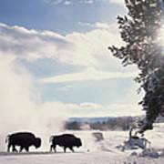 American Bison In Winter Art Print by Tim Fitzharris