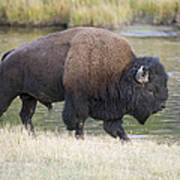 American Bison On The Madison River Art Print