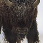 American Bison Portrait Art Print by Tim Fitzharris