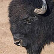 American Buffalo No.2 Art Print