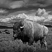 American Buffalo Or Bison In The Grand Teton National Park Art Print
