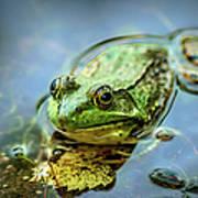 American Bull Frog Art Print