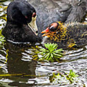 American Coot And Chick Art Print