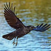 American Crow Flying Over Water Art Print