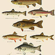 American Game Fish Art Print