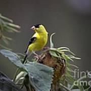 American Goldfinch 5 Art Print