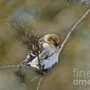 American Goldfinch On A Cedar Twig Art Print