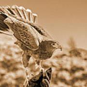 American Red Tail Hawk Art Print